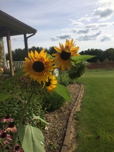 Jacob's sunflower