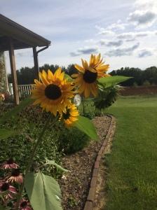 Jacob's sunflower